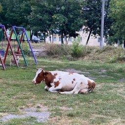 В Курске детскую площадку оккупировали коровы