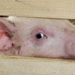 Курский свинокомплекс выставлен на торги